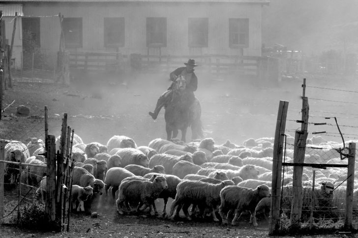 Gaucho Herding Sheep