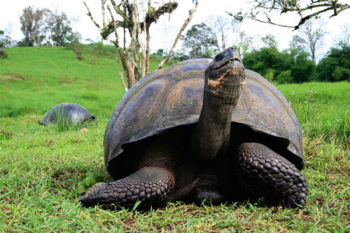 Galapagos Islands Tortoise