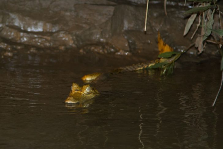 Caiman Peruvian Amazon Travel