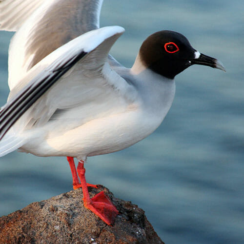 Galapagos Swallowed Tail Gull Custom Trips